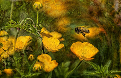 Buttercup Jungle (Explored) (pollylew) Tags: insect weeds textures hoverfly buttercups