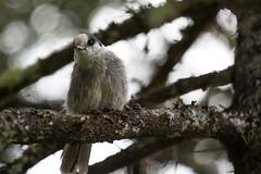 568A9069.jpg (CookiesForDevo) Tags: canada wildlife places greyjay salmoniernaturepark newfoundlandandlabrador