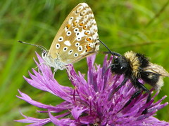 Sharing the Knapweed (Giles Watson's poetry and prose) Tags: poetry poem bumblebee knapweed bluebutterfly naturewriting