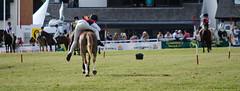 Royal Welsh Show 2013 (Just Ard) Tags: wales nikon cymru pony builthwells royalwelsh royalwelshshow ponyclub sigma105mm sigma105mmf28 llanelwedd sigma2xteleconverter welshshow d7000 ysioe nikond7000 sioefrenhinolcymru july2013 frenhinolcymru sigma105mmf28macroexdgoshsm justard royalwelshshow2013 sioefrenhinolcymru2013