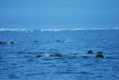 Walrus Hunt 8_5_13 1 101 (efusco) Tags: ocean sea ice alaska native arctic butcher hunter beaufort walrus hunt midnightsun iceburg floe inupiat inupiaq aivik femalewalrushunt85131