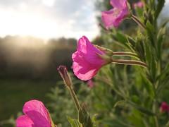 flowers_7 (matthes lr) Tags: flowers sunset plants sun plant flower holland fuji bokeh pflanzen zeeland fujifilm blume nederlands x10 nierderlande