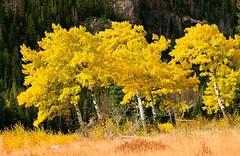 زردى زيباى درختان (armanazad111) Tags: پاييز البوم ١