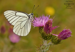 The Black-veined White (Aporia crataegi) (Pete Withers) Tags: white butterfly butterflies lepidoptera blackveinedwhite aporiacrataegi lépidoptère blackveined theblackveinedwhite