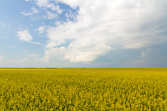 Fields of gold (Blue Trail Photography) Tags: canada field rural landscape grande scenery farm country north alberta prairie canola