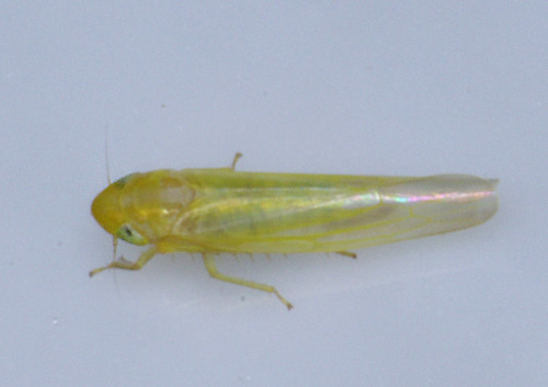 Leafhopper 13, Bethesda , Montgomery Co MD IMGP5061 T.L. 3.2 mm Oct 5 2013