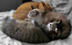 aconchego... (silwittmann) Tags: sleeping cats pets animals three gatos felines ruby3 favescontestwinner ruby10 ruby15 ruby20