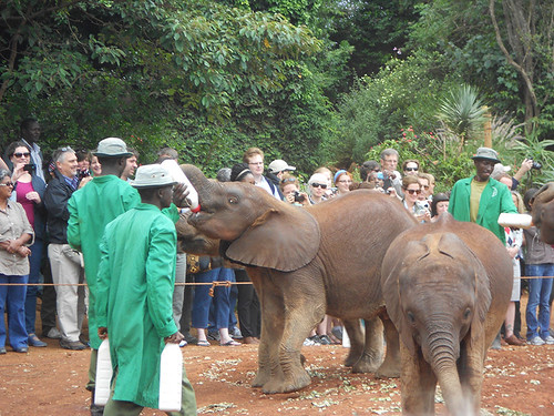 feeding the orphan elephants at David Sheldrick Orphanage