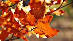 Las hojas (Jesus_l) Tags: espaa europa segovia otoo lagranjadesanildefonso jesusl sanindefonso