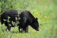 Au menu, salade de pissenlits. (askyu22) Tags: bear jasper wildlife dandelion blackbear jaspernationalpark ours pissenlits oursnoir parcnationaljasper