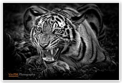 The Beast (Vin PSK) Tags: blackwhite tiger beast