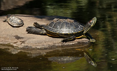 Red-eared sliders (Bob Stronck) Tags: fauna turtle hayward alamedacounty redearedslider trachemysscriptaelegans stronckphotocom ©2013rmstronck