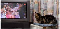 Capra watching André Rieu (H. Bos) Tags: cat tv watching lovely lief tomcat capra kijken rieu andrerieu johanstraussorchestra vrijthofconcert geefommij