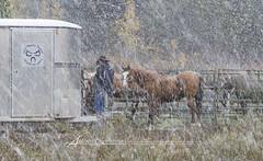 Bridger Teton National Forest (Albert Photo) Tags: horse usa mountain snow tree river cow nationalpark woods valley yellowstone domesticfowl bridgertetonnationalforest