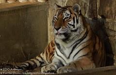 Siberische tijger - Panthera tigris altaica -  Siberian Tiger (MrTDiddy) Tags: cat mammal zoo big kat feline tiger bigcat antwerp siberian tijger tigris antwerpen zooantwerpen amur grote panthera altaica zoogdier amoer grotekat siberische