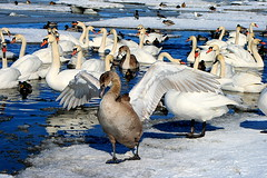 Noor kühmnokk-luik (Cygnus olor). A young  mute swan. (Imbi Vahuri) Tags: aves luik cygnus anatidae linnud partlased