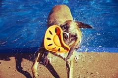 cross color (vincentazzopardi) Tags: dog pool swimming vintage greatdane swimmingpool freeze shake splash highspeed