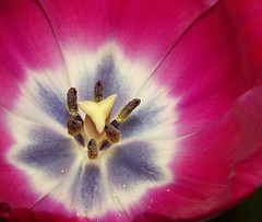 Tulip Central (Chrissie28IWish! ~ hubby passed away 5th Dec peace) Tags: pink blue brown white flower macro floral yellow closeup petals style stamens tulip pollen stigma filament anther