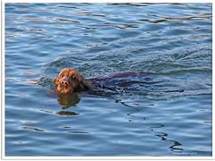 Schwimmhund - swimming dog