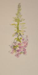 Foxglove (amanda.parker377) Tags: digitalis foxglove pasteldrawing cottagegardenflowers derwentpastelpencils