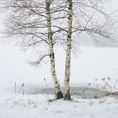 Betula (petraostgard) Tags: lake cold tree ice water photography high key sweden overexposed iced birch highlight betula