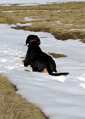 Frakk hűsöl / cooling off (debreczeniemoke) Tags: dog snow kutya earlyspring hó frakk izvoare izvora transylvanianhound copoiardelenesc forrásliget erdélyikopó canonpowershotsx20is transylvanianbloodhound koratavasz