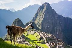 Llama of Machu Picchu (Kathy~) Tags: peru animal machupicchu ancient ruins inca mountain herowinner gamesweepwinner wild 15challengeswinner instagram