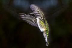Black-Chinner (Joe Rossi) Tags: black hummingbird hummer blackchinned blackchinnedhummingbird chinned joerossiphotosheltercom