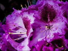 Purple_wr43_0668 (Aureusbay) Tags: wet closeup germany spring purple blossoms rhododendron lr oly stamina mft luneburgo omdem5 m1250mm