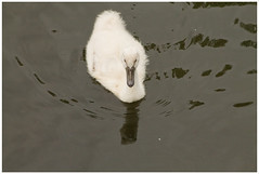 Nature calls: little swans (H. Bos) Tags: nature water spring swan natuur swans lente almere zwaan voorjaar zwanen zwaantjes littleswans