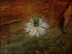 Nigella damascena (Vanessa Vox) Tags: flower nigelladamascena magicunicornverybest magicunicornmasterpiece vanessavox