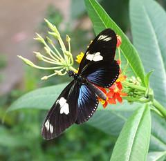DSCF7148 (Sandra L Ekins) Tags: nature butterfly insect chesterzoo dorislongwing heliconiusdoris butterflyjourney