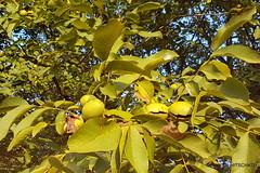 Noix de Grenoble: Erntereife Nsse (HITSCHKO) Tags: noixdegrenoble echtewalnuss juglansregia laubbaum walnussgewchse juglandaceae walnuss walnussbaum baumnuss nutzpflanze nutzholz isre drme savoie france frankreich