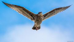 16-15617.jpg (kgsix) Tags: lincolncounty newport usa oregon birds gulls bayfront unitedstates us