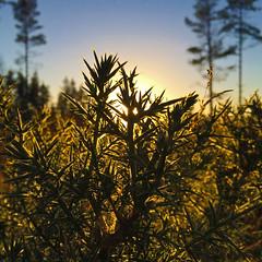 gorse (prajpix) Tags: gorse whins backlit nature forest highlands scotland sky sunset