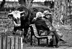 BOO! (pmryderesq) Tags: blackandwhite blackandwhitephotography blancoynegro cows nature naturephotography streetphotography blackandwhitestreetphotography candidportrait