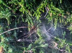 Grass Spider (pmenge) Tags: denver net grassspider spider 18135 xt1