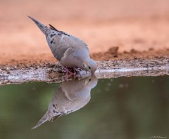 Mourning Dove (Ruthie Kansas) Tags: