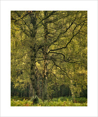Untitled (Nigel Morton) Tags: autumn green yellow birch ashridge hertfordshire ashridgeestate grass morning dawn firstlight dew trees woods woodland forest landscape detail nigelmorton outdoor photo border field