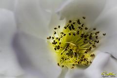 Whiterosestamanblend.jpg (raysul) Tags: flower macro flowerphotography floralart closeup depthoffield decorative beautyinmacro rose