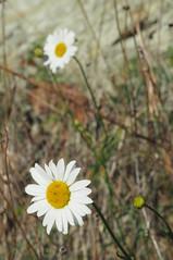 Margherite solitarie (elisa domini) Tags: secco brullo bianco margherita