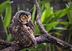 Satisfaction (Ah Wei (Lung Wei)) Tags: owl portrait wildlife wildanimals ahweilungwei animals nature bird penangbirdpark penang penangisland georgetown georgetownpenang malaysia pulaupinang nikon nikond750 nikon50mmf18g