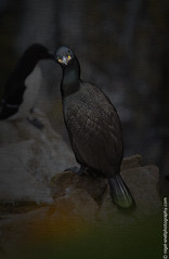 DSC_4755-2 (nigelsnell) Tags: birds salteeisland shagphalacrocoraxaristotelis bird ononesoftware photo10 textures