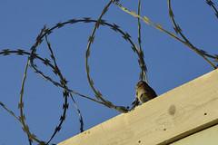 No more razor wires (fher-x-s) Tags: razorwire concertina bird pjaro freedom libertad borders fronteras oiseau barbel libert frontire nikond5200 nikon18105