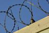 No more razor wires (fher-x-s) Tags: razorwire concertina bird pájaro freedom libertad borders fronteras oiseau barbelé liberté frontière nikond5200 nikon18105