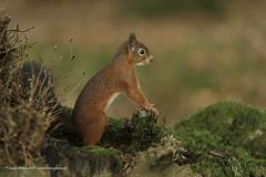 Red Squirrel (Louise Morris (looloobey)) Tags: aq7i0266 red redsquirrel squirrel woodland autumn leaves moss bank hide scotland border sciurrusvulgaris