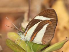 Itaballia marana (Birdernaturalist) Tags: butterfly ecuador jorupe loja pieridae pierinae pierini richhoyer urracalodge