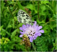 _Demi-deuil _Melanargia galathea (nicéphor) Tags: papillon rhopalocères insectes faune flore nature canon eos50d nymphalidae satyrinae