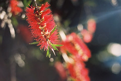 Bottlebrush at sunset (Katie Tarpey) Tags: bottlebrush native australiannative sunset victoria australia nature tree flower bokeh light spring film 35mm kodak kodakportra400 nikonfm10 nikkor50mm14