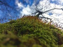 (ollieoxley) Tags: wet bosnia park mossy moss cute green nature macromonday macro